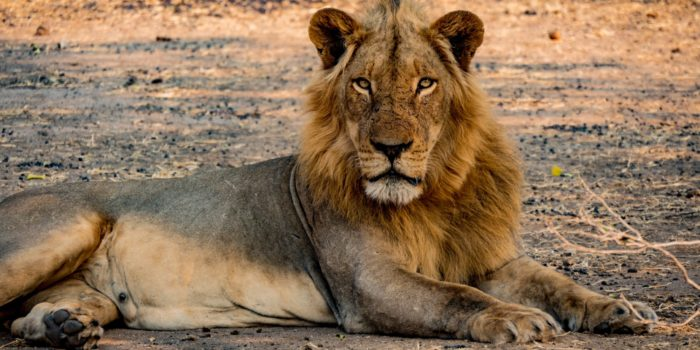 lion lower zambezi