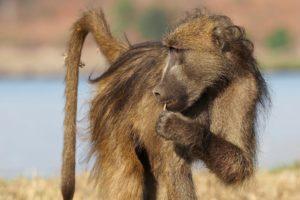 loors botswana safari baboon