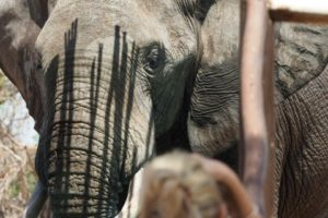 loors botswana safari elephant and sue