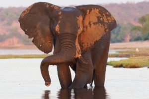 loors botswana safari elephant in river