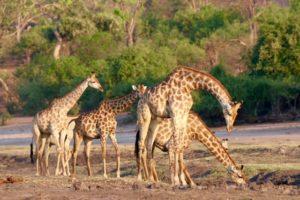 loors botswana safari giraffe