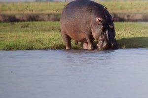 loors botswana safari hippo