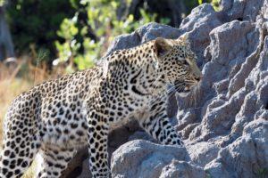 loors botswana safari leopard on rocks