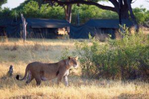 loors botswana safari lion in khwai