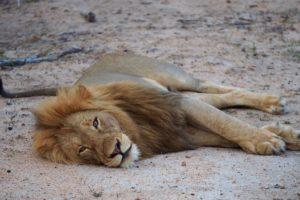 loors botswana safari lion sleeping