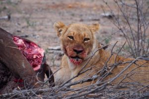 loors botswana safari lion with kill