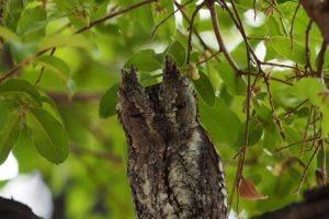 loors botswana safari owl