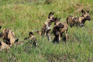 loors botswana safari wild dogs