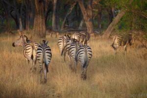 loors botswana safari zebra