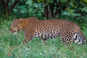 leopard big five corporate