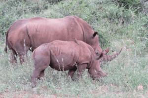 love rhinos