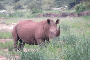 rhino safari game drive