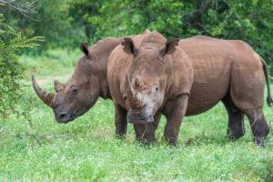 rhino timbavati big5
