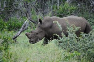corina rhino sighting