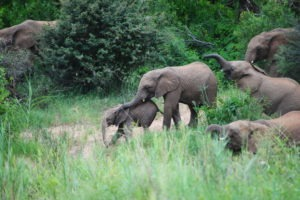 herd of elephants corina