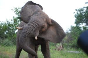 large elephant corina