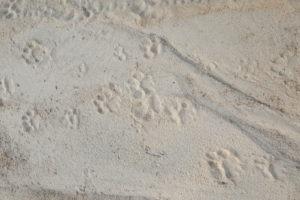 tracking corina