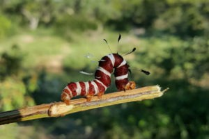 worm corina