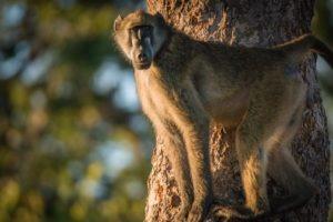 barnes family blog botswana baboon