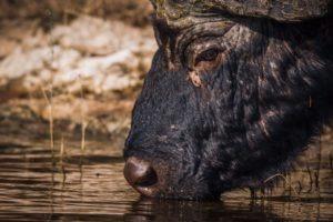 barnes family blog botswana buffalo
