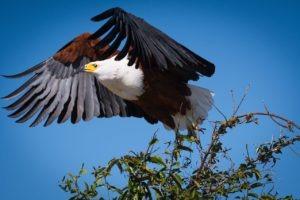 barnes family blog botswana eagle