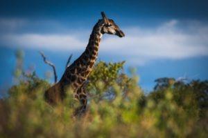 barnes family blog botswana giraffe