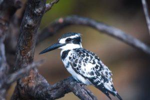 barnes family blog botswana kingfishger