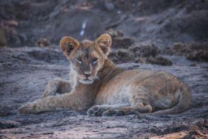 barnes family blog botswana lion cub at water
