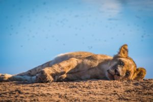 barnes family blog botswana lion cub sleeping
