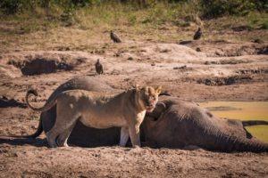 barnes family blog botswana lion kills elephant