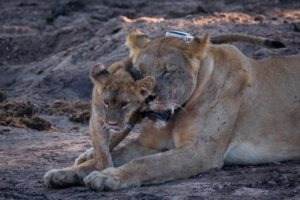 barnes family blog botswana mother and baby lion