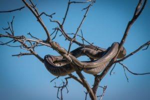 barnes family blog botswana snake