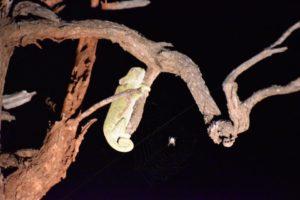 chameleon safari