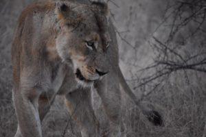 female lion susan