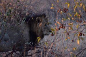 lion susan