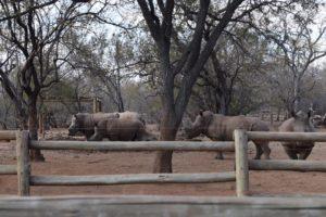 rhino calf conservation