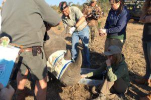 rhino notching conservation
