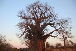 baobab makuleke