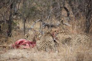 cheetahs karongwe