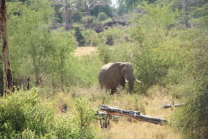 elephant makuleke