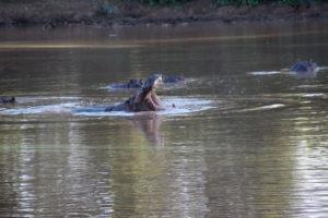hippo makuleke