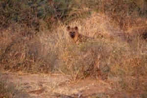 hyena makuleke