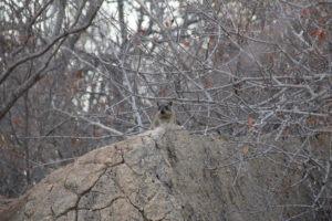 hyrax karongwe