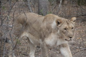 lioness karongwe