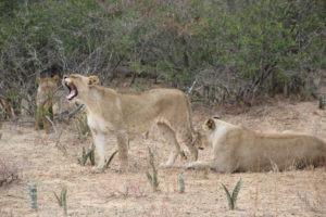 lions karongwe