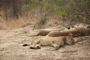 lions karongwe2