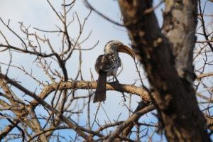 red crested hornbill karongwe