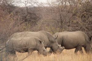 rhinos karongwe