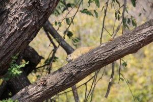 squirrel makuleke