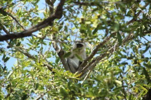 vervet monkey karongwe